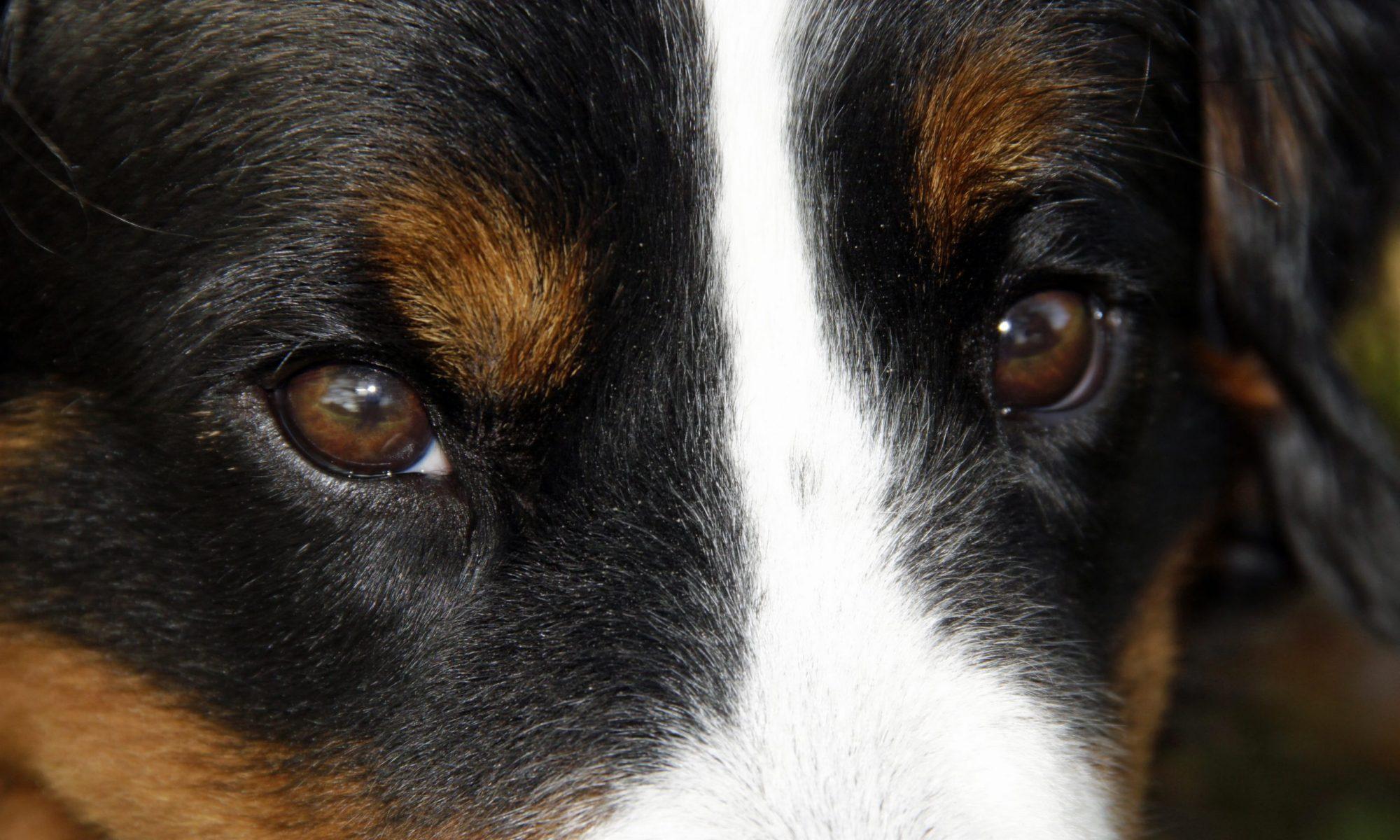 Berner Sennenhunde vom Lauterberg
